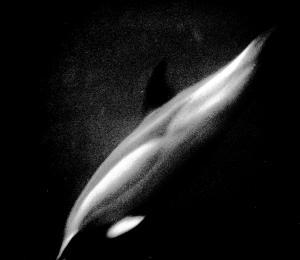 Dolphin going deep